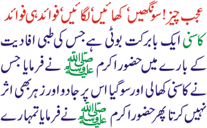 Kasni herb benefits in Urdu